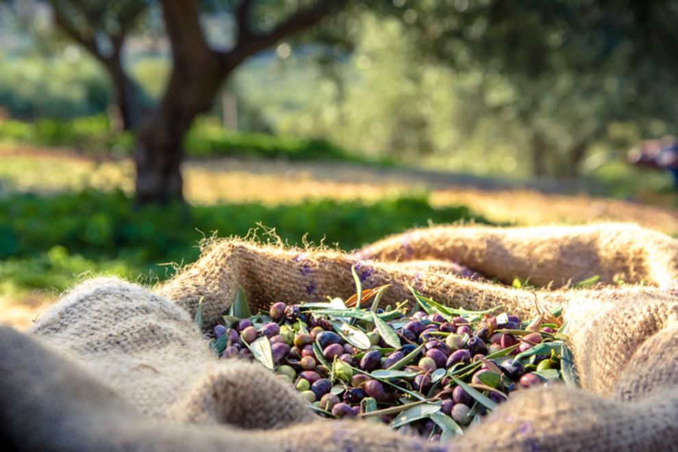 Ottobre: tempo di raccolta delle olive nella vostra proprietà di lusso in Versilia